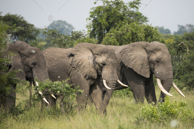 African Bush Elephant Walk Through Refuge in Uganda