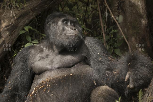 Mountain Gorilla Mugs for Photo at Preserve in Uganda