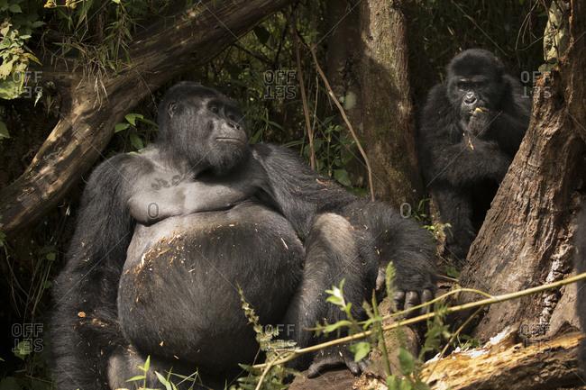 Pair of Mountain Gorillas Enjoy Meal at Preserve in Uganda