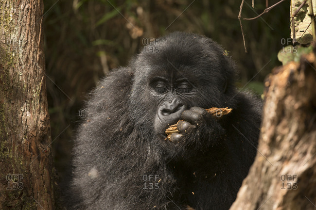 Mountain Gorilla Youth Enjoys Snack of Wood in Uganda Preserve