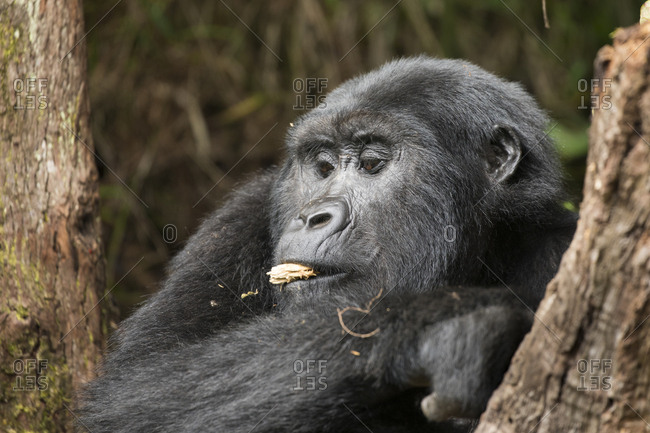 Mountain Gorilla Takes Bit of Wood in Uganda