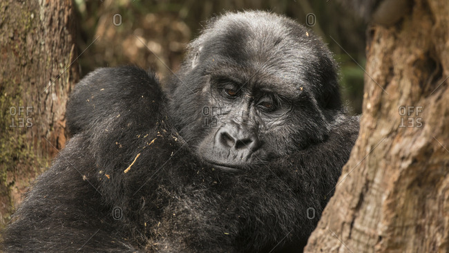 Mountain Gorilla Stops for Nap at Uganda Preserve