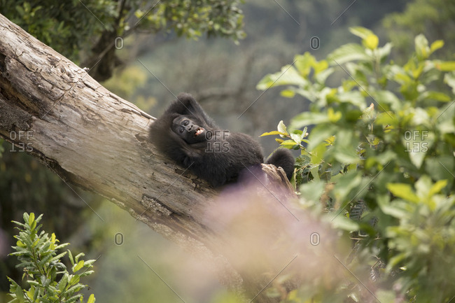 Mountain Gorilla Kicks Back to Rest in Trees at Uganda Preserve