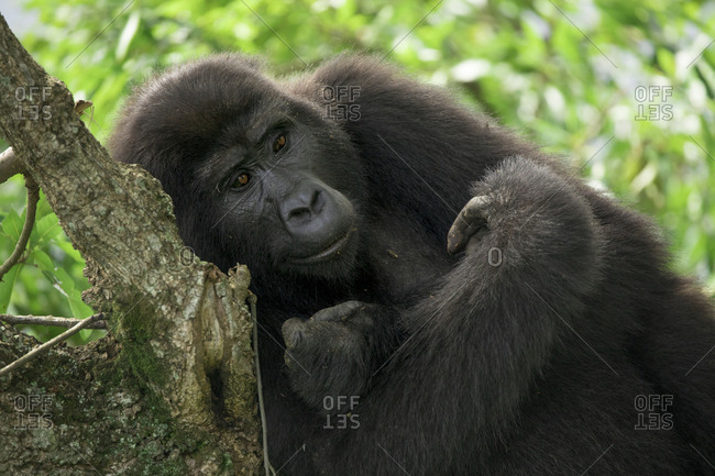 Mountain Gorilla Rests on Tree Branch at Uganda Preserve