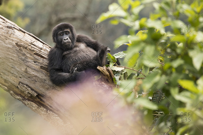 Mountain Gorilla Sits in Trees in Uganda