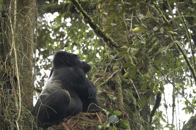 Mountain Gorilla Sits in Tree Perch in Uganda
