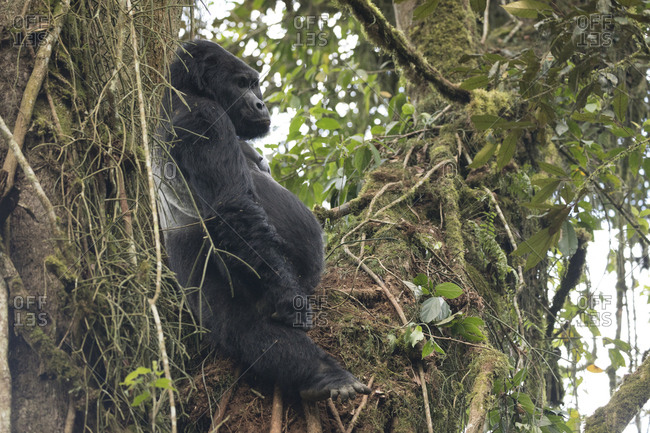 Mountain Gorilla Sits in the Treetops Resting in Uganda