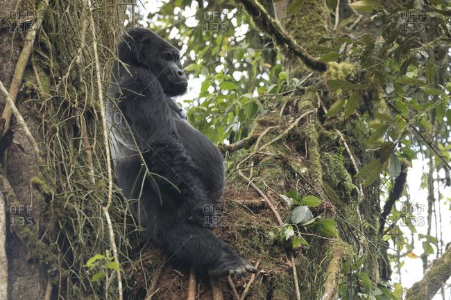 Mountain Gorilla Sits in the Treetops Resting in Uganda