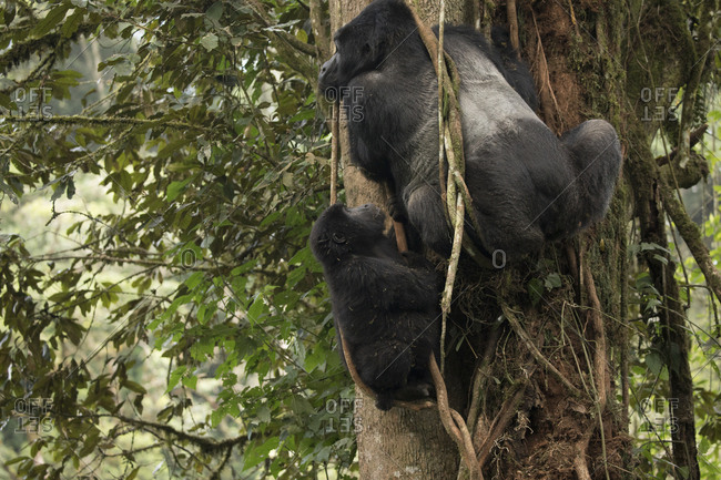 Mountain Gorilla Parent Keeps Watch from Trees in Uganda Refuge