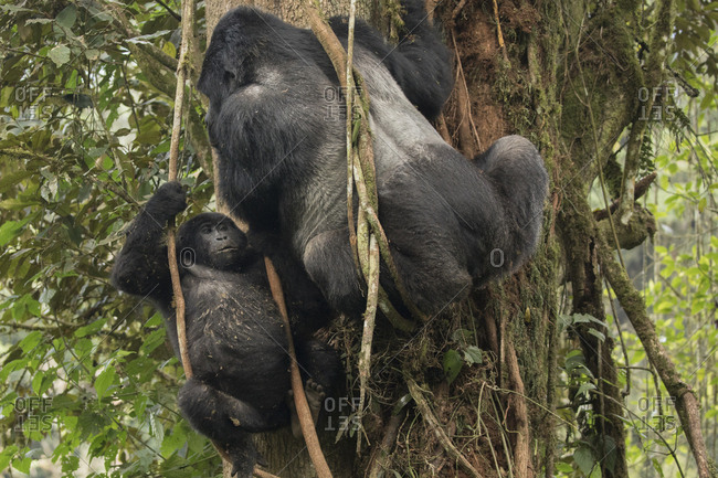 Mountain Gorilla Juvenile Looks Around from Trees in Uganda