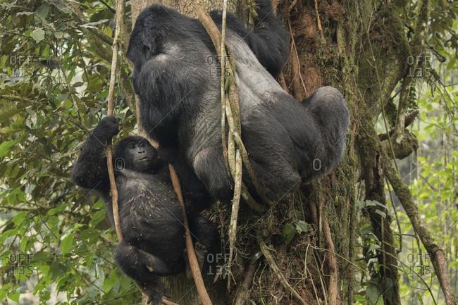 Mountain Gorilla Juvenile Looks Around from Trees in Uganda
