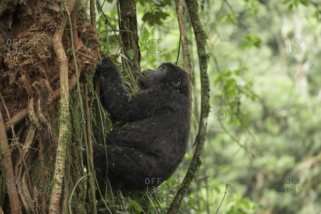 Juvenile Mountain Gorilla Hangs from the Vines in Treetops in Uganda Refuge