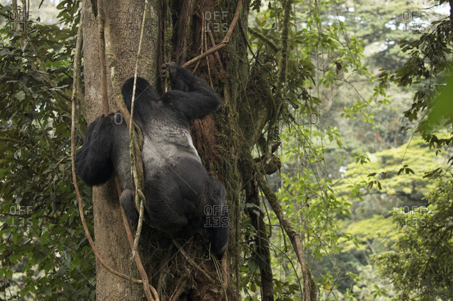 Adult Mountain Gorilla Hangs from Vines in Treetops in Uganda Preserve