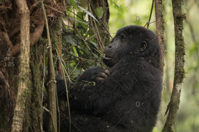 Juvenile Mountain Gorilla Hides in Uganda Treetops