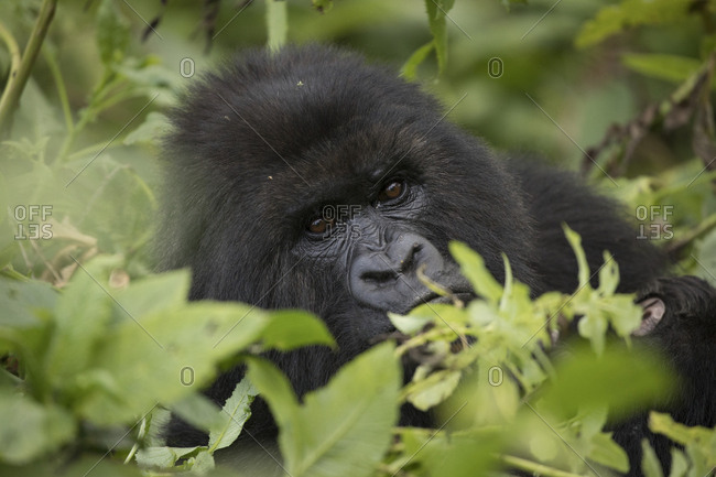 Mountain Gorilla Peeks Out of Forest in Uganda Preserve