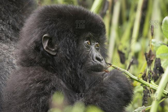 Baby Mountain Gorilla Looks Up into Trees in Uganda Refuge