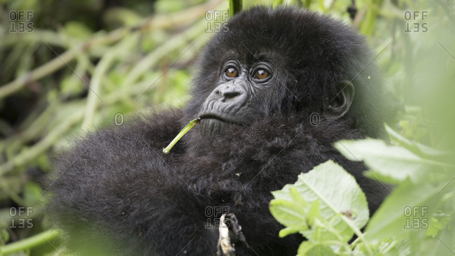 Leaves Hang out of Mouth of Baby Mountain Gorilla in Uganda Refuge