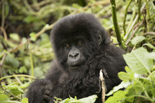 Baby Mountain Gorilla Looks Curiously Toward Camera in Uganda