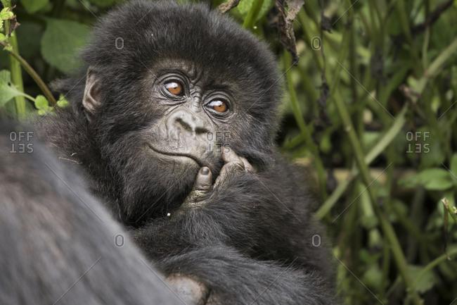 Baby Mountain Gorilla Smiles Back While at Preserve in Uganda