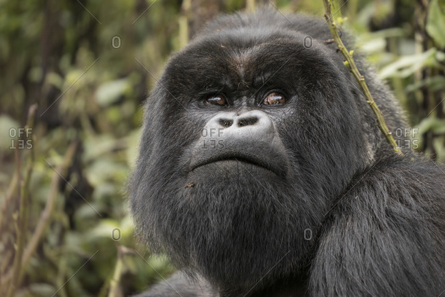 Adult Mountain Gorilla Scans Treetops in Uganda Preserve