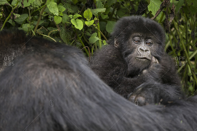 Baby Mountain Gorilla Clings to Mama in Preserve in Uganda