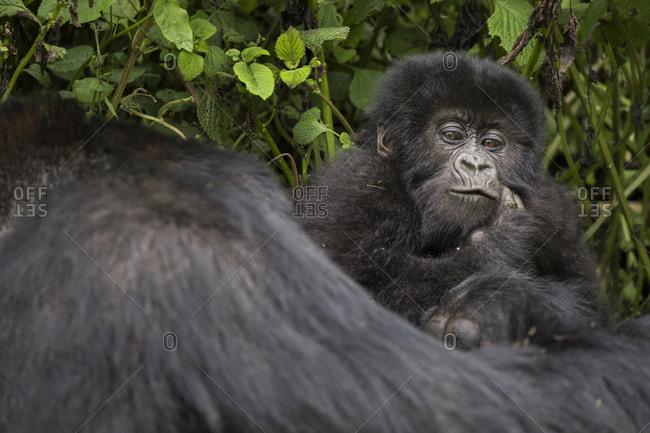 Baby Mountain Gorilla Clings to Mama in Preserve in Uganda