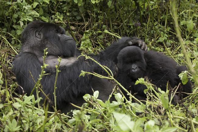 Two Mountain Gorilla Rest on Ground at Uganda Preserve