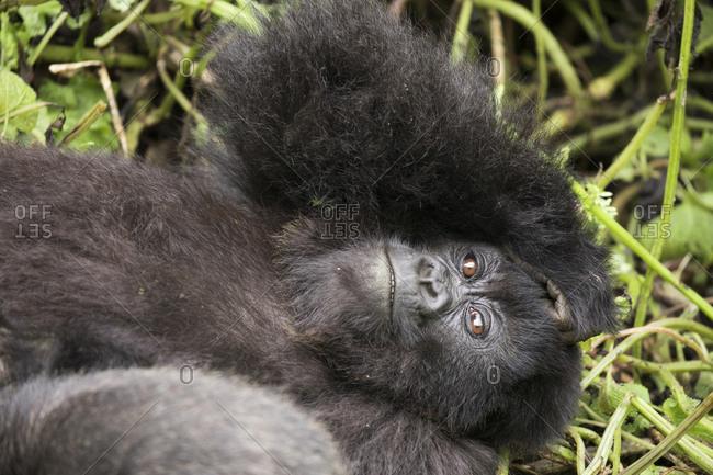 Juvenile Mountain Gorilla Rests on Ground in Refuge in Uganda