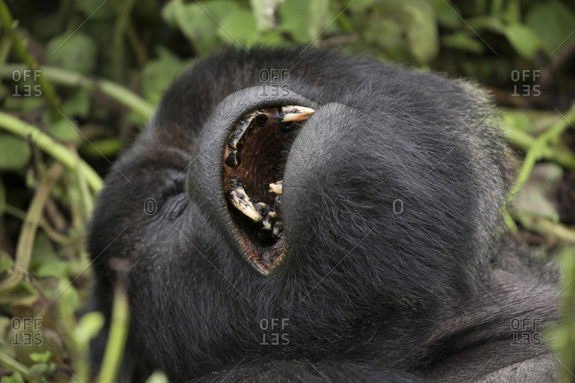 Mountain Gorilla Sleeps with Mouth Open at Preserve in Uganda