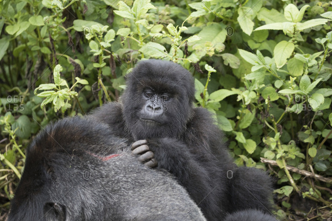 Mountain Gorillas Check Out Each Other's Battle Wounds at Refuge in Uganda