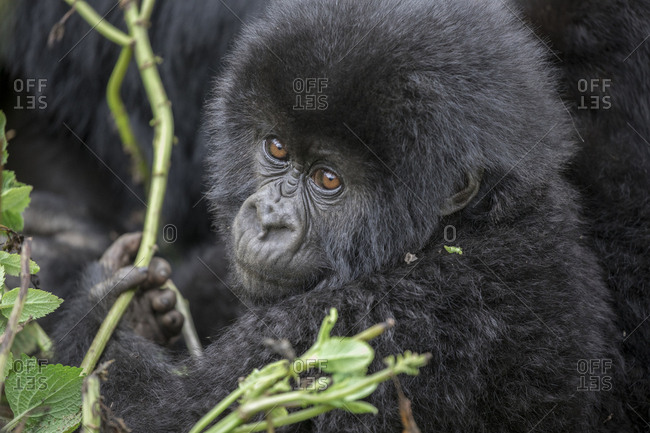 Baby Mountain Gorilla Picks  Leaves to Eat at Preserve in Uganda