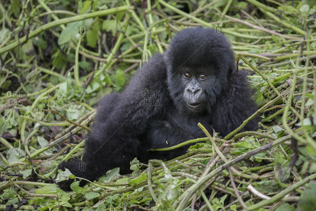 Baby Mountain Gorilla Sits Amongst the Tree Shoots at Preserve in Uganda
