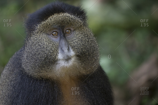 Golden Monkey Adult Rests on the Ground in Preserve in Uganda