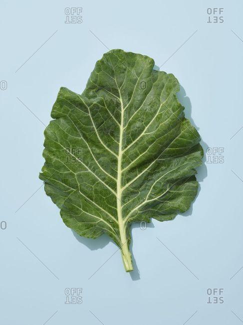 Collard green leaves on blue background