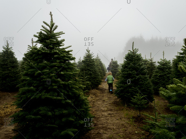 Rear view of father with sons walking amidst pine trees at farm during foggy weather