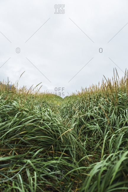Grasses growing on field against cloudy sky