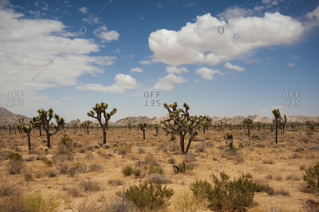 Plants and trees growing on desert against sky at Joshua Tree National Park