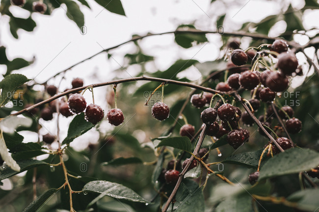 Close-up of wet cherries growing on branches during rainy season