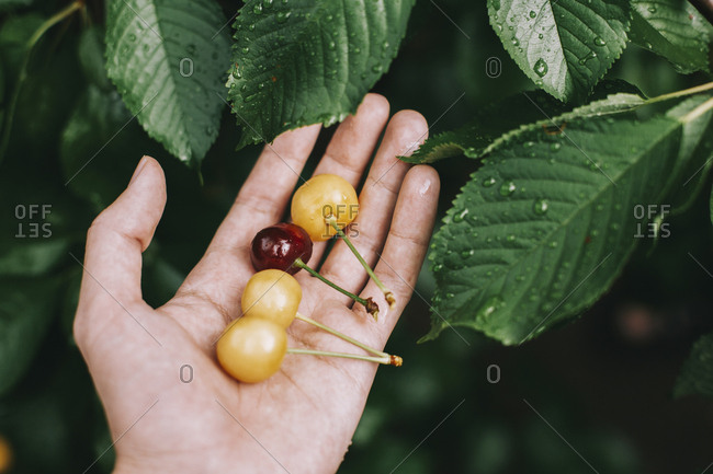 Cropped hand of man holding fresh cherries by wet leaves in garden