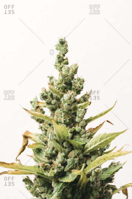 Cannabis plant growing against white background