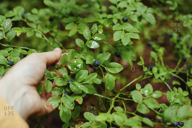 Cropped hand of woman picking wild berries from plant in forest