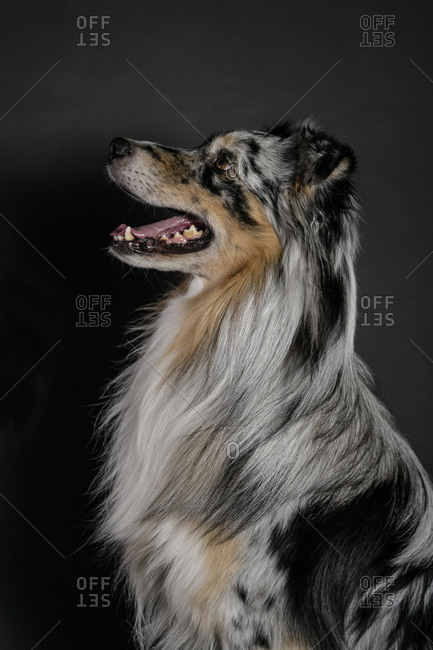Side view of Australian Shepherd sitting against black background