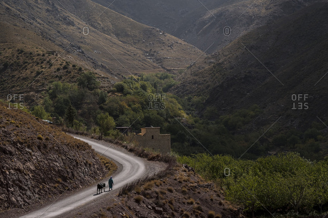 Person leading a cow on a winding road in the Atlas Mountains