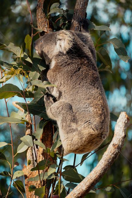 Koala climbing a eucalyptus tree