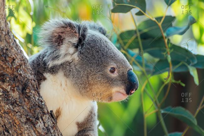 Portrait of a koala in a eucalyptus tree