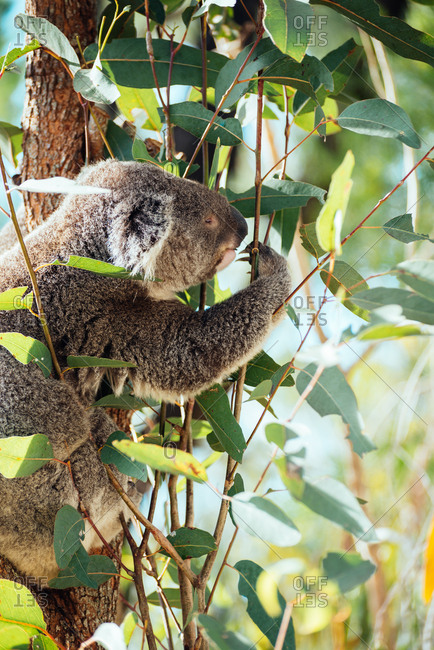 Koala foraging in a eucalyptus tree