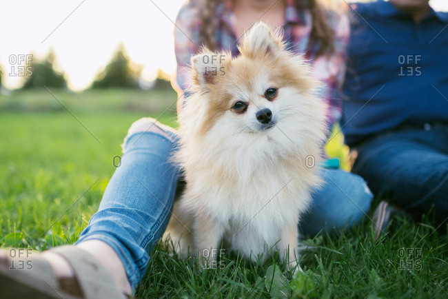 Fluffy Pomeranian dog sitting with person on lawn at park