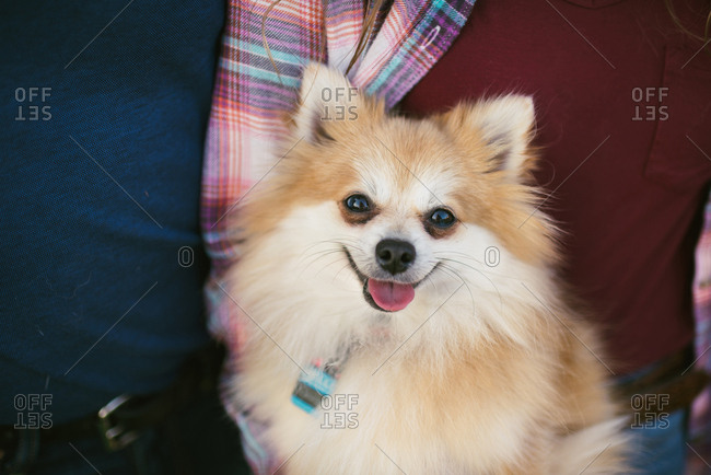 Portrait of a pet Pomeranian dog with tongue out