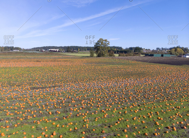 Elevated view of a pumpkin patch