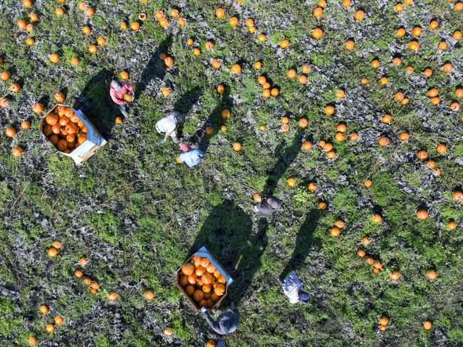 People collecting pumpkins